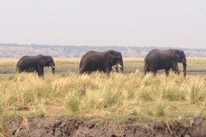 Chobe Bachelor Herd