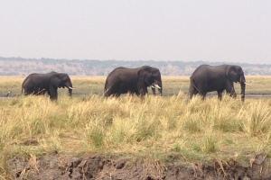 Chobe Bachelor Herd